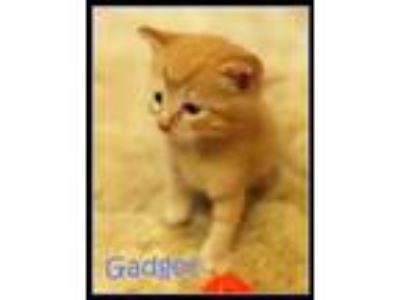 Adopt Gadget *kitten* a Orange or Red Tabby Domestic Shorthair / Mixed cat in