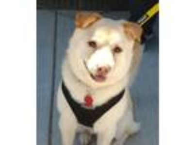 Adopt Charlie (from China) a Labrador Retriever, Corgi