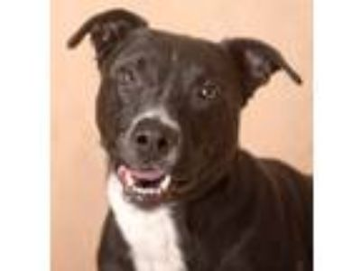 Adopt Ash a Black - with White Labrador Retriever / Pit Bull Terrier / Mixed dog
