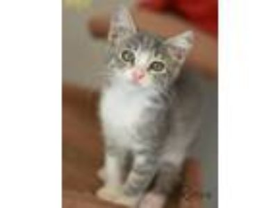 Adopt Rocco a Gray or Blue (Mostly) Domestic Shorthair / Mixed cat in