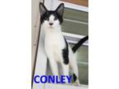 Adopt conley a All Black Domestic Shorthair / Domestic Shorthair / Mixed cat in