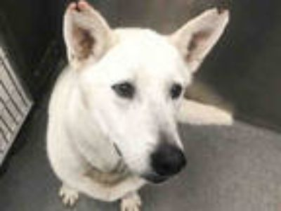 Adopt JENNY a White Husky / Mixed dog in Dallas, TX (25326109)