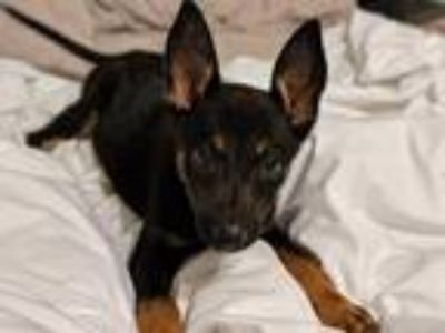 Adopt Tweety a Black - with Tan, Yellow or Fawn Shepherd (Unknown Type) / Mixed