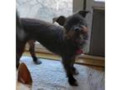 Adopt Spanky a Black - with White Scottie, Scottish Terrier / Mixed dog in