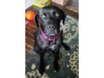 Adopt Rosie a Black Labrador Retriever