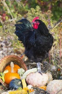 WANTED BLACK AUSTROLOP ROOSTER