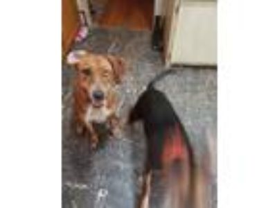 Adopt Luna a Tan/Yellow/Fawn - with White Coonhound (Unknown Type) / Mixed dog