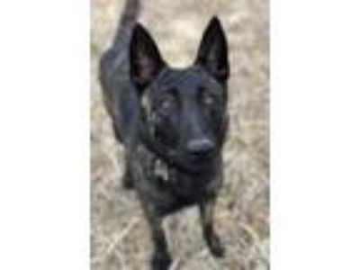 Adopt Angie Foster needed til 6/20/19 a Dutch Shepherd