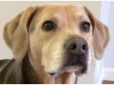 Adopt Brodie - Bonded with Barkley a Weimaraner, Beagle