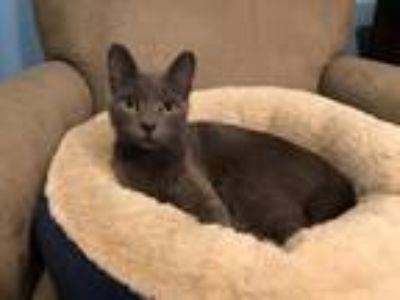 Adopt Ekaterina a Russian Blue / Mixed (short coat) cat in Valley Park