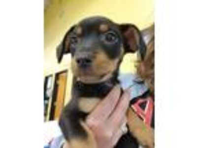Adopt HOGGLE a Dachshund, Jack Russell Terrier