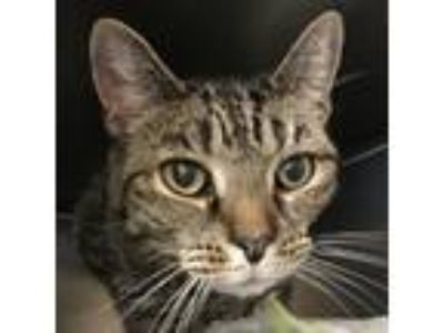 Adopt Tobe a All Black Domestic Shorthair / Domestic Shorthair / Mixed cat in