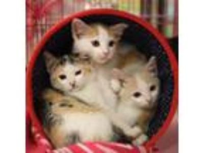 Adopt T Kittens a Domestic Short Hair