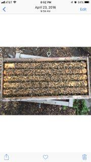 Honeybee nucs