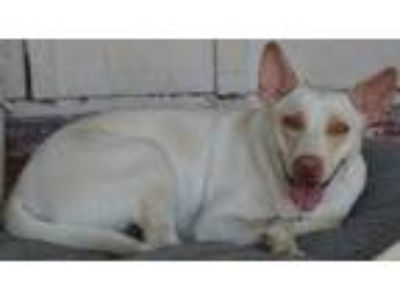 Adopt Willow a White Labrador Retriever / Shepherd (Unknown Type) / Mixed dog in
