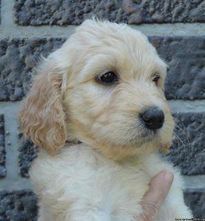 CKC F1 Goldendoodle Puppies