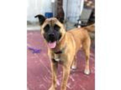 Adopt Tianna a Black - with Tan, Yellow or Fawn Akita / Boxer dog in Staten