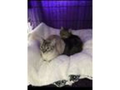 Adopt Lexi & Lilly on hold a Siamese, Maine Coon