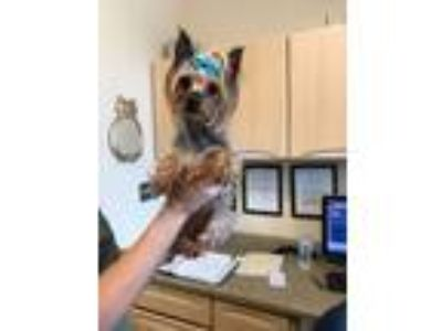 Adopt Breeze a Yorkshire Terrier