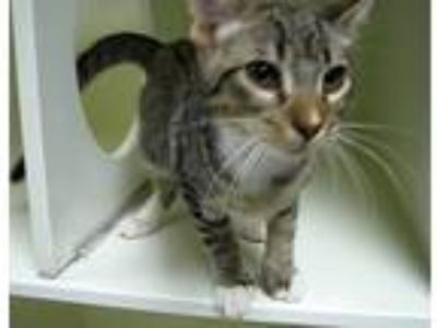 Adopt Lizard a Brown Tabby Domestic Shorthair (short coat) cat in Georgetown