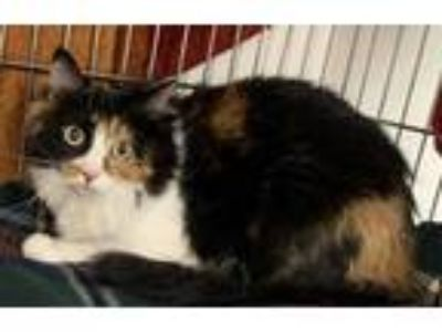 Adopt PENNY a Brown Tabby Domestic Longhair / Mixed (long coat) cat in Hesperia