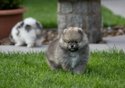 Show quality males and females Pomeranian Puppies