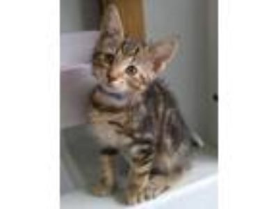 Adopt Cinnamon Roll a Domestic Short Hair