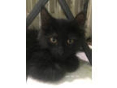 Adopt Jace a Domestic Short Hair