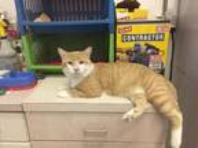 Adopt Goose a Domestic Shorthair / Mixed (short coat) cat in St.