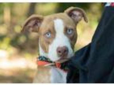 Adopt Blitz a Tan/Yellow/Fawn American Pit Bull Terrier / Husky / Mixed dog in