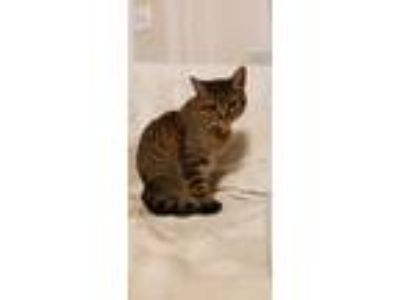 Adopt Minnie a Brown Tabby American Shorthair cat in Orem, UT (25262647)