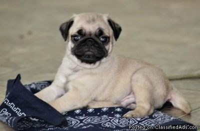 Talented Male & Female Pug Puppies