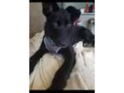Adopt Denzel Drainage Ditch a Labrador Retriever, Border Collie