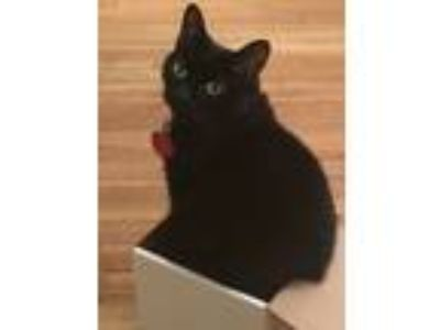 Adopt Lyla a Black & White or Tuxedo Domestic Shorthair / Mixed cat in Lincroft