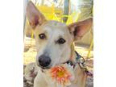 Adopt Karma a Tan/Yellow/Fawn - with White Labrador Retriever / Hound (Unknown