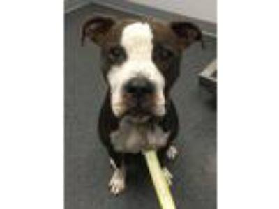 Adopt Dallas a Boxer, Pit Bull Terrier