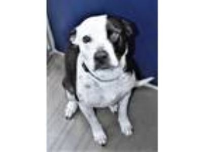 Adopt R2311393 / Chelsea a Labrador Retriever, Australian Cattle Dog / Blue