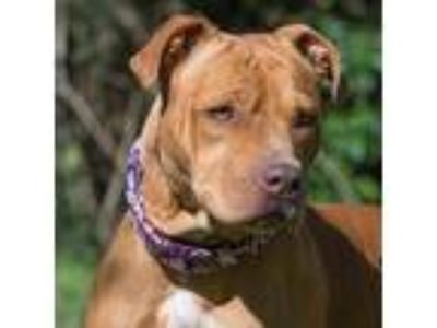 Adopt AMBER ROSE a Pit Bull Terrier