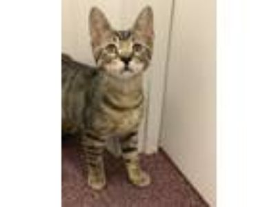 Adopt Wick a Tabby
