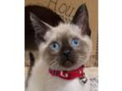 Adopt Paul Revere a Tan or Fawn (Mostly) Siamese / Mixed (short coat) cat in San