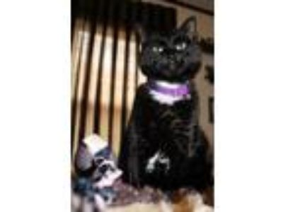 Adopt Twilight a Domestic Short Hair