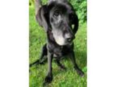Adopt Jade a Black Labrador Retriever / Mixed dog in Whitehall, PA (25870681)