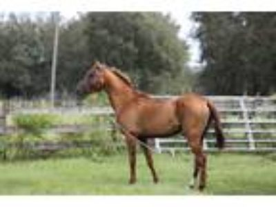 Exceptional AkhalTeke stallion standing in Florida to all breeds