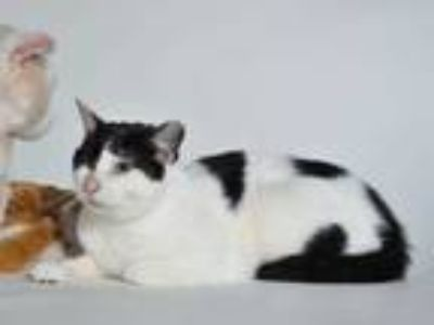 Adopt SYDNEY a White (Mostly) Domestic Shorthair / Mixed (short coat) cat in