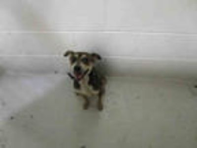 Adopt SANDIE a Brown/Chocolate - with Tan Black Mouth Cur / Mixed dog in Winter