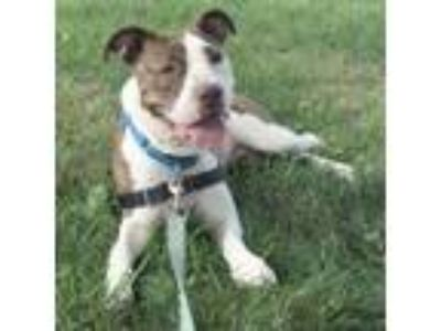 Adopt Hattie a Pit Bull Terrier, Mixed Breed