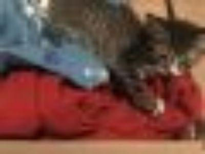 Fritter American Shorthair Cat