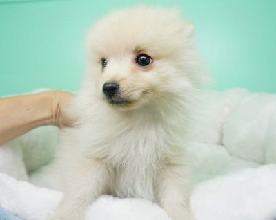 Pomeranian Puppy- Male- Nacho ($1,699) CKC Registered