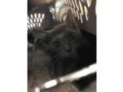 Adopt Walter a Gray or Blue Domestic Shorthair / Domestic Shorthair / Mixed cat