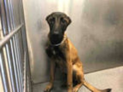 Adopt STRAY a Tan/Yellow/Fawn - with Black Belgian Malinois / Mixed dog in